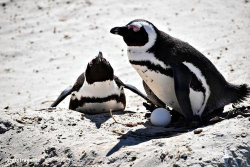 pinguini 11