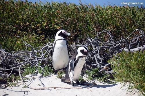 pinguini 15
