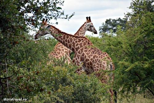 safari 22
