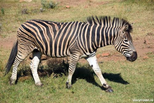 safari 41